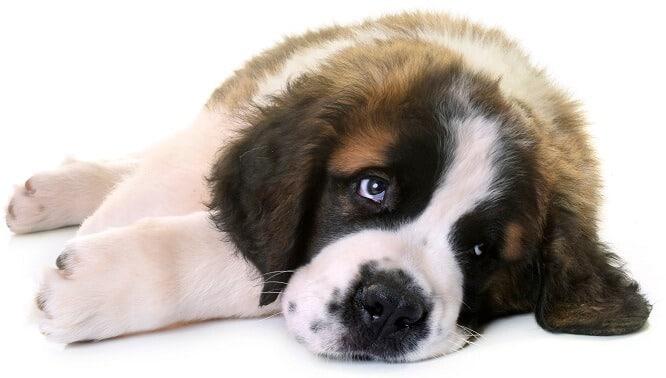 מחלות אוזניים בכלבים