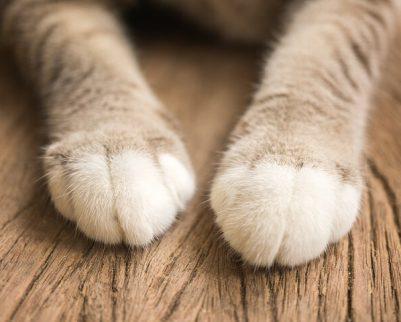 חתול שורט רהיטים