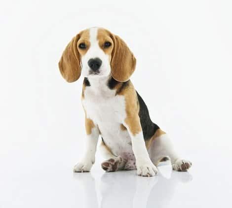 אוזניים עומדות אצל כלבים