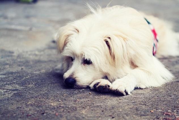 כלב בדיכאון